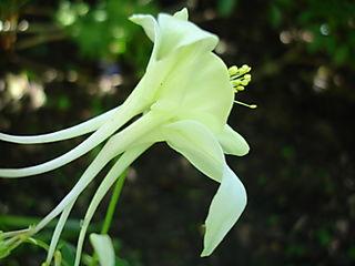 Cornflower 44 097