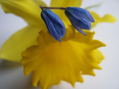Daffodil and scilla
