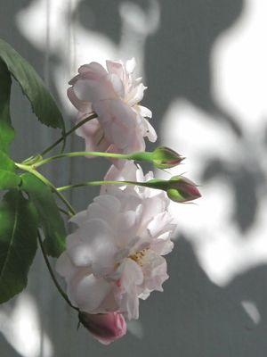 Rose Blush Noisette