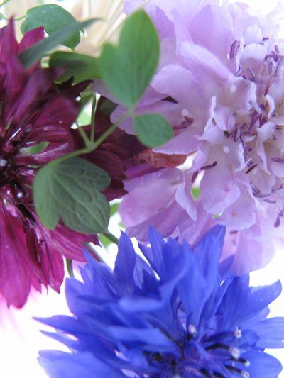 Cornflower, scabious