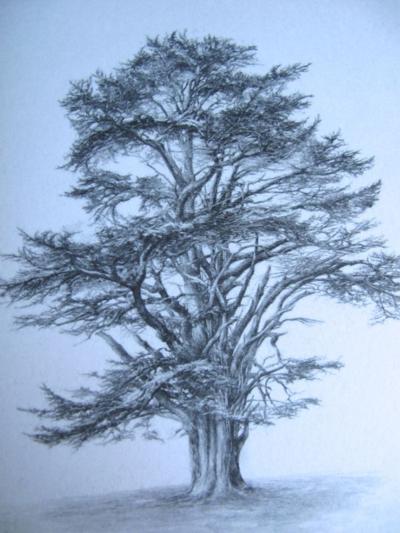 Cedar of Lebanon, Sarah Simblet