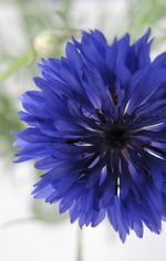 Cornflower profile