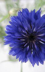 Cornflower profile