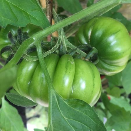 Marmande tomatoes