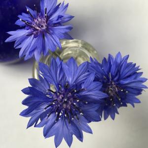 Floreant Centaureae