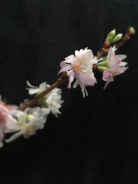 Prunus x subhirtella Autumnalis
