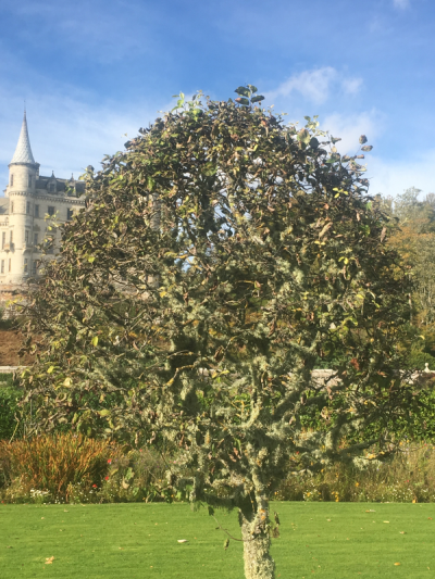 Quince Dunrobin