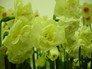 Cornflower_28_147