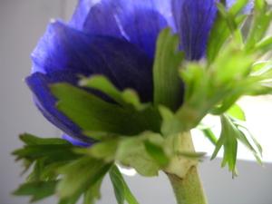 Cornflower_29_006