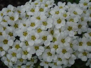 Cornflower_30_001