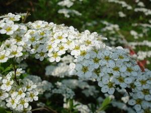 Cornflower_30_081