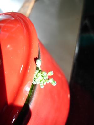 Cornflower_30_124