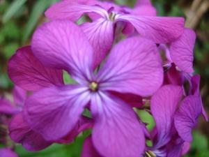 Cornflower_31_015