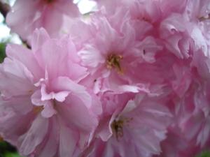 Cornflower_31_052