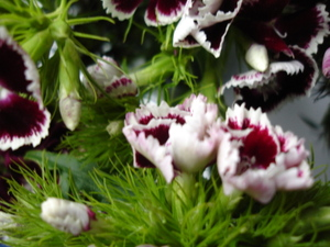 Cornflower_34_086