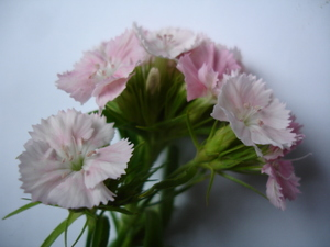 Cornflower_34_095