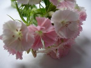 Cornflower_34_097