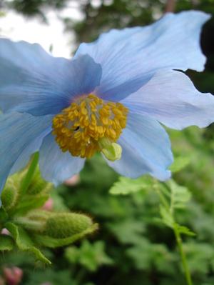 Cornflower_34_183