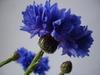 Cornflowers_010