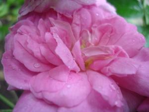 Cornflower_36_008