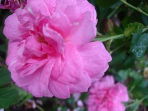 Cornflower_36_011