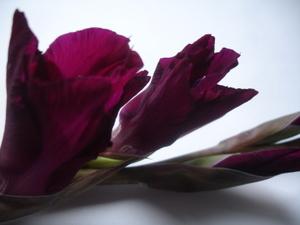Cornflower_36_171