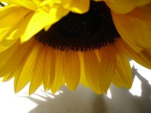 Cornflower_36_232