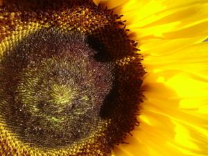 Cornflower_36_234