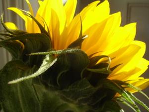 Cornflower_36_238