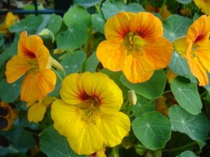 Cornflower_36_246