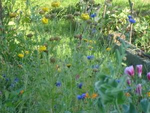 Cornflower_36_248