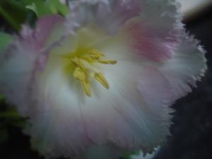 Cornflower_41_073