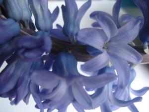 Cornflower_41_150