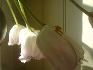 Cornflower_41_165