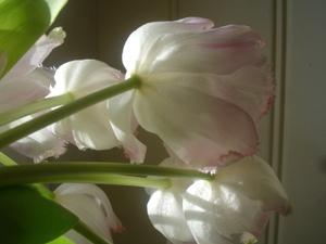 Cornflower_41_170