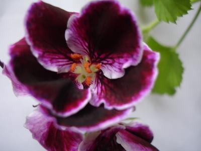 Cornflower_43_159