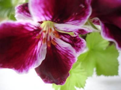 Cornflower_43_160