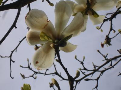 Cornflower_43_184