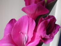 Cornflower_12_002