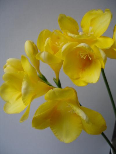 Cornflower_24_034