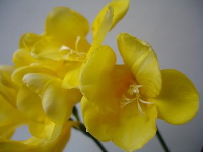 Cornflower_24_035