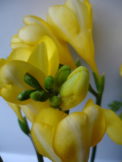 Cornflower_24_040
