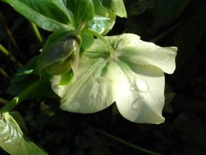 Cornflower_26_043