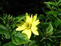 Cornflower_7_007