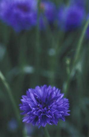 Cornflowercentaurea